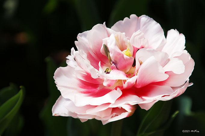 サンブッカ(八重咲きのチューリップ)