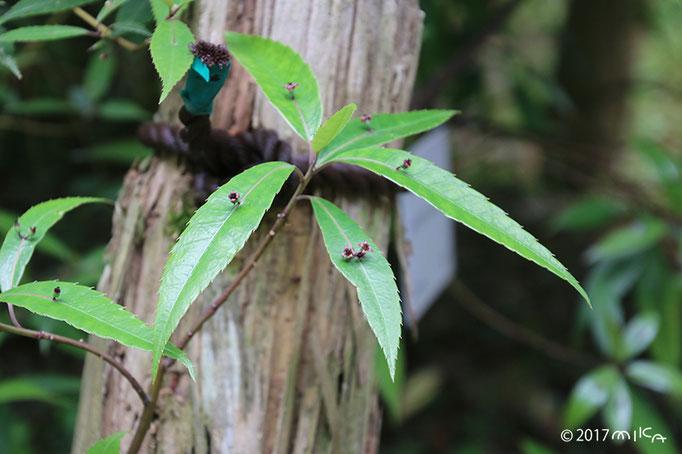 ヒマラヤハナイカダの雌花(めばな)の枝