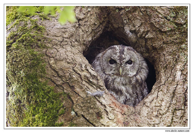 Photo 19 (Chouette hulotte - Strix aluco - Tawny Owl)