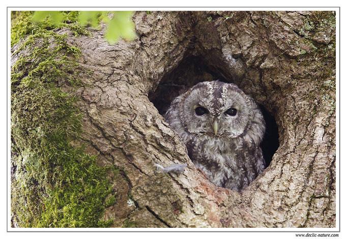 Photo 19 (Chouette hulotte - Strix aluco - Tawny Owl)