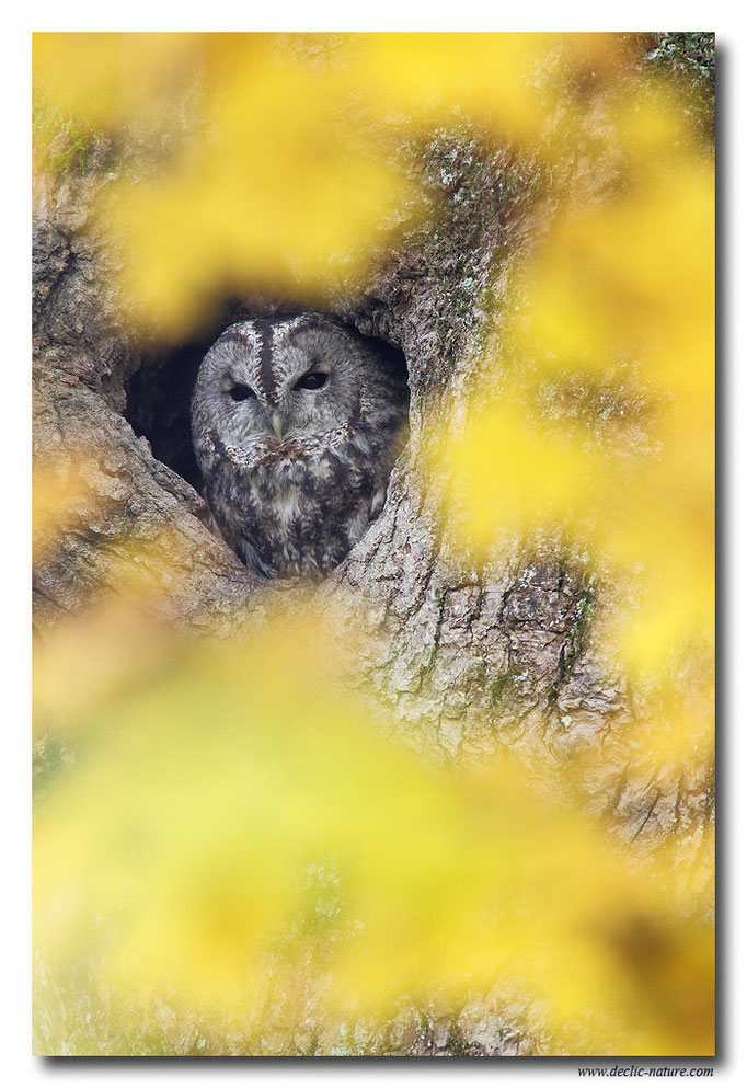 Photo 13 (Chouette hulotte - Strix aluco - Tawny Owl)