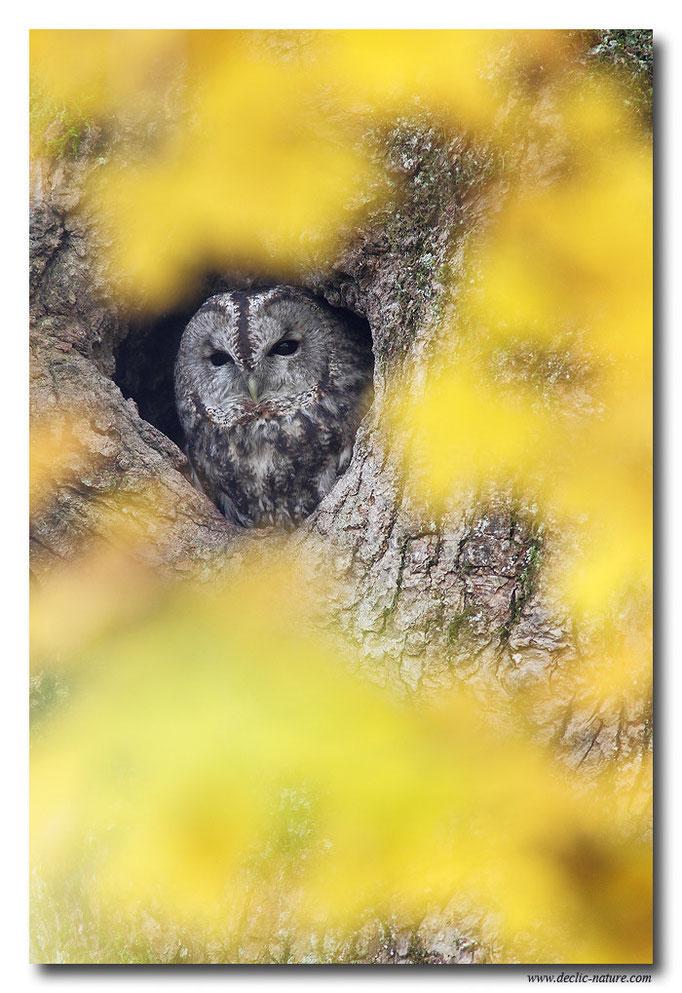 Photo 13 (Chouette hulotte - Strix aluco - Tawny Owl)