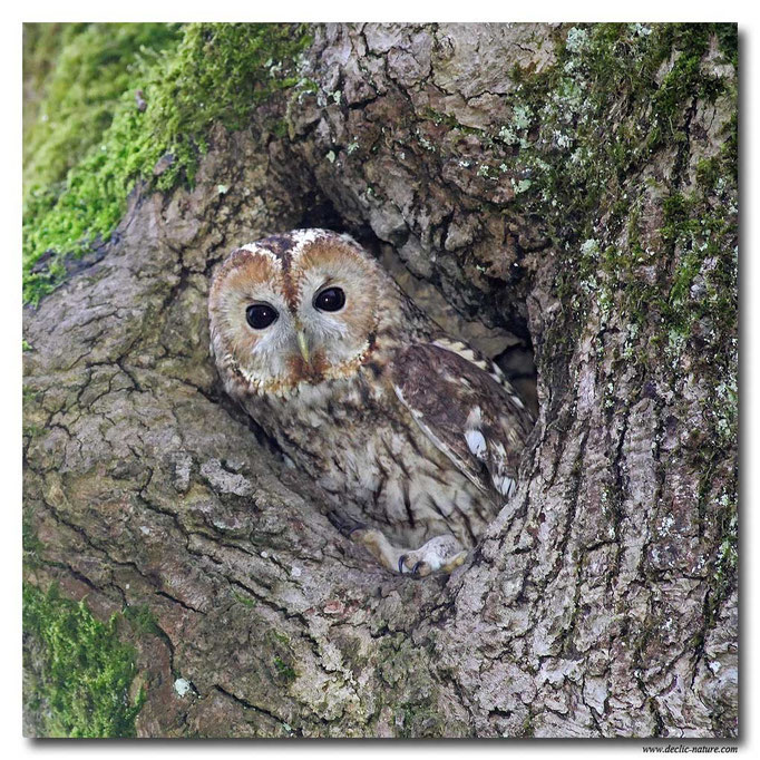 Photo 15 (Chouette hulotte - Strix aluco - Tawny Owl)