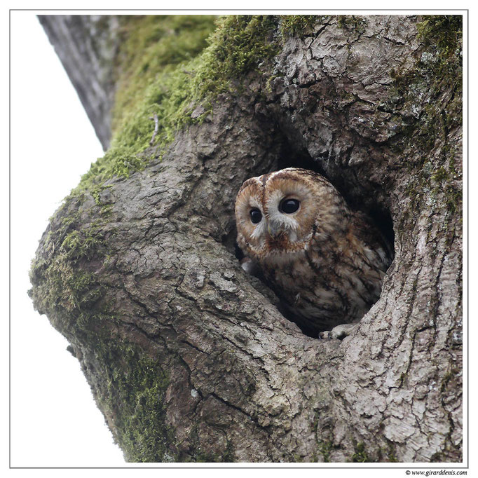 Photo 1 (Chouette hulotte - Strix aluco - Tawny Owl)
