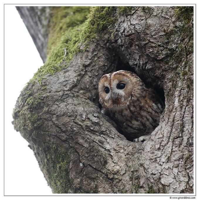 Photo 1 (Chouette hulotte - Strix aluco - Tawny Owl)