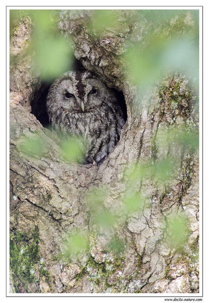 Photo 7 (Chouette hulotte - Strix aluco - Tawny Owl)