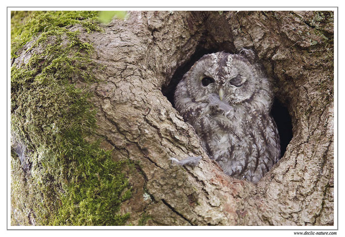 Photo 21 (Chouette hulotte - Strix aluco - Tawny Owl)