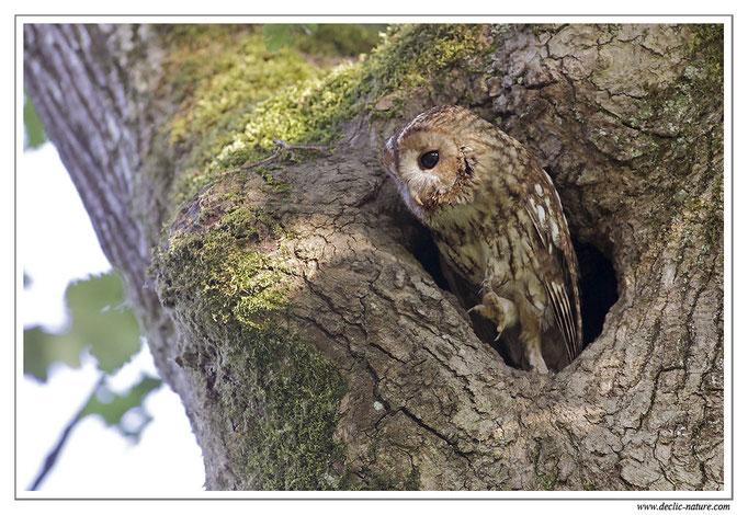 Photo 10 (Chouette hulotte - Strix aluco - Tawny Owl)