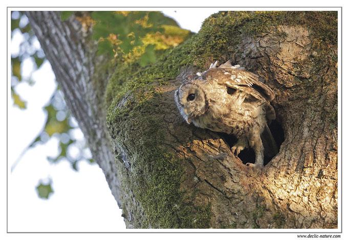 Photo 27 (Chouette hulotte - Strix aluco - Tawny Owl)