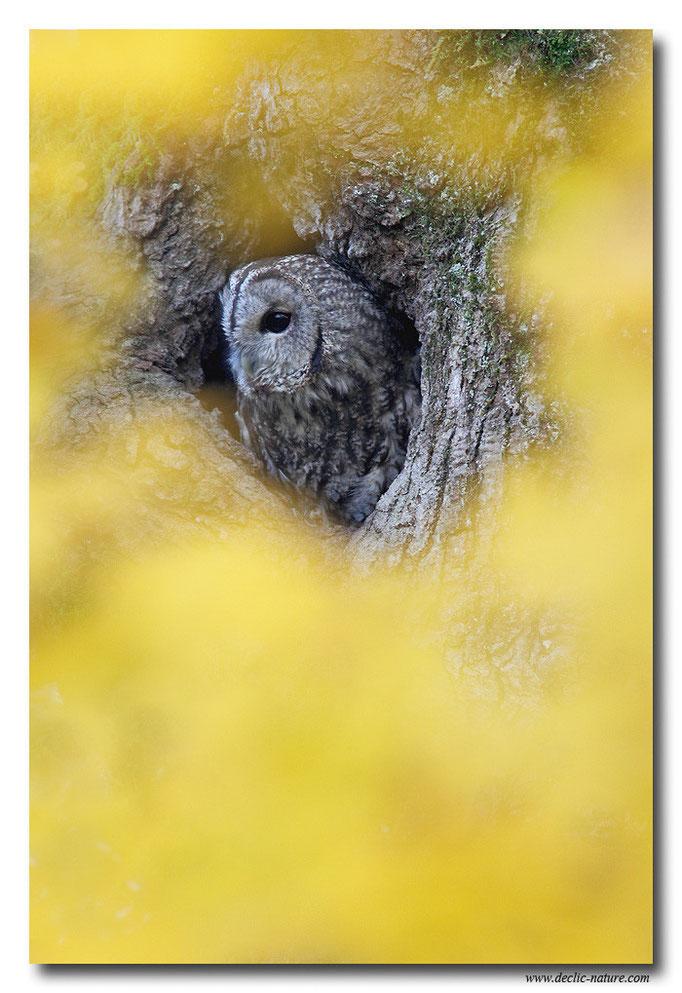 Photo 14 (Chouette hulotte - Strix aluco - Tawny Owl)