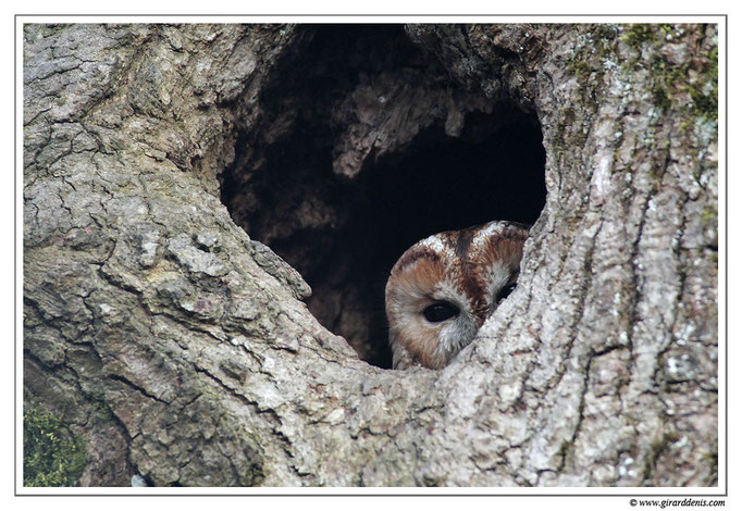 Photo 2 (Chouette hulotte - Strix aluco - Tawny Owl)