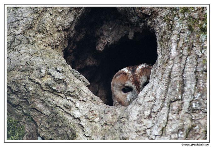 Photo 2 (Chouette hulotte - Strix aluco - Tawny Owl)