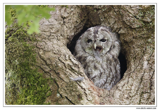 Photo 25 (Chouette hulotte - Strix aluco - Tawny Owl)