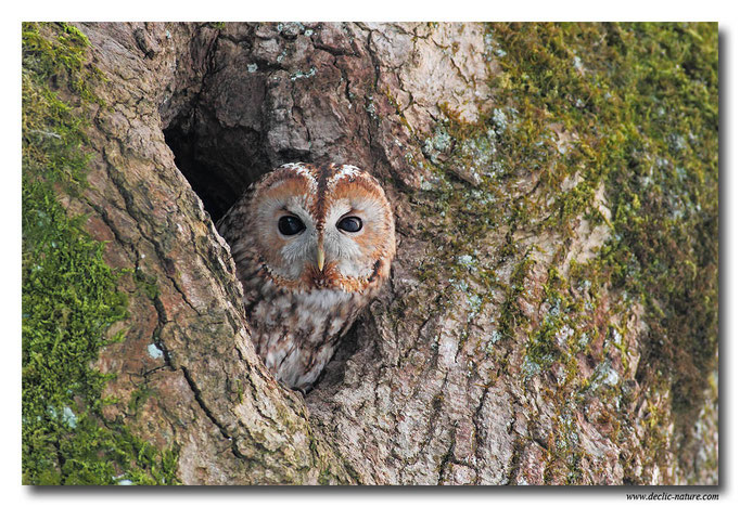 Photo 16 (Chouette hulotte - Strix aluco - Tawny Owl)