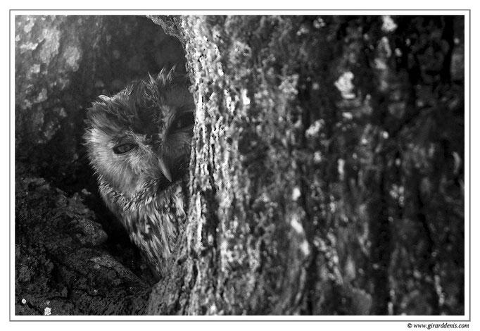 Photo 5 (Chouette hulotte - Strix aluco - Tawny Owl)