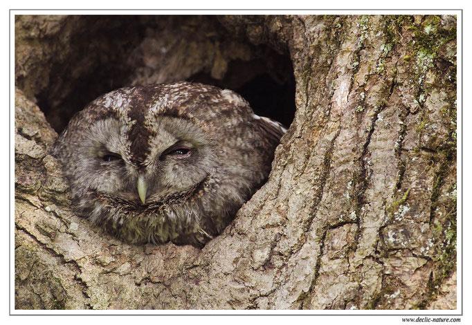 Photo 9 (Chouette hulotte - Strix aluco - Tawny Owl)