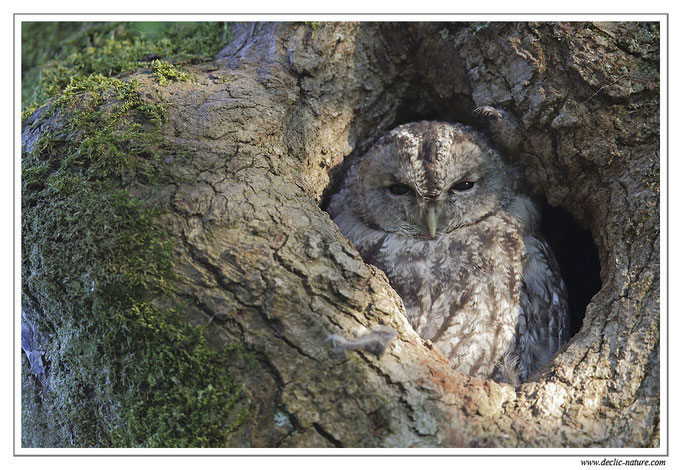 Photo 26 (Chouette hulotte - Strix aluco - Tawny Owl)