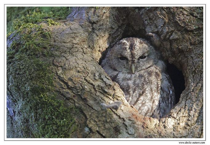 Photo 26 (Chouette hulotte - Strix aluco - Tawny Owl)