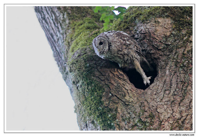 Photo 11 (Chouette hulotte - Strix aluco - Tawny Owl)