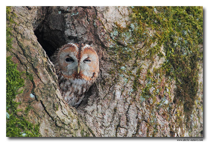 Photo 17 (Chouette hulotte - Strix aluco - Tawny Owl)