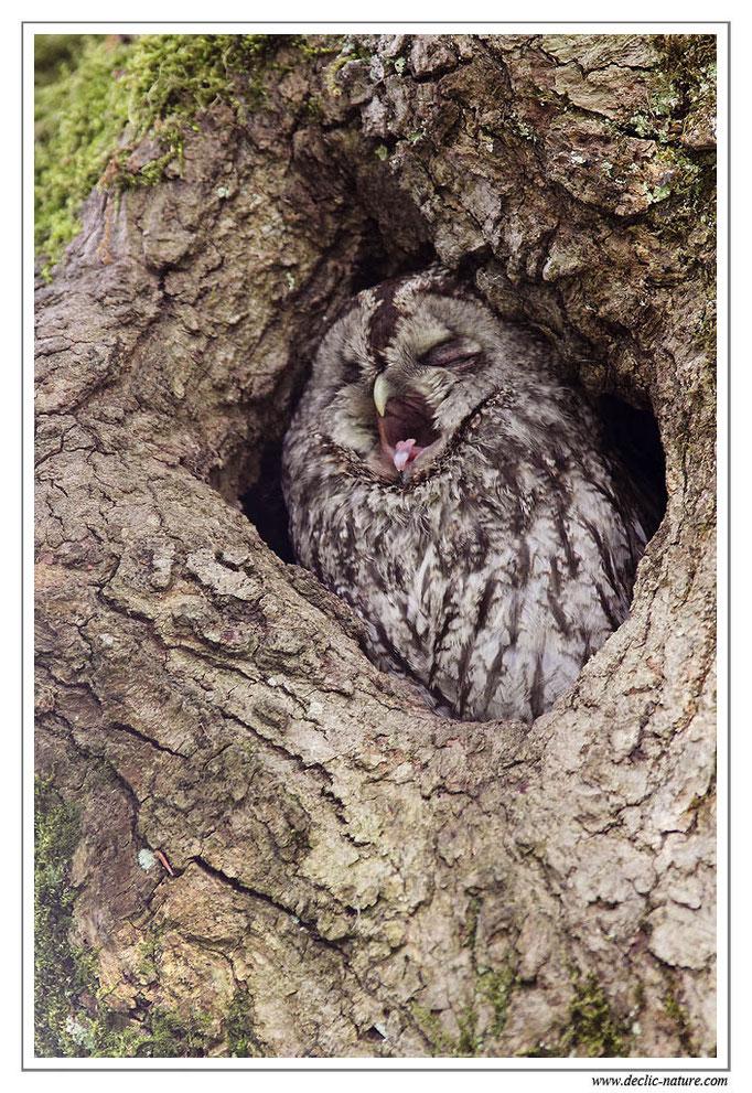 Photo 8 (Chouette hulotte - Strix aluco - Tawny Owl)