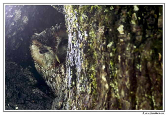 Photo 4 (Chouette hulotte - Strix aluco - Tawny Owl)