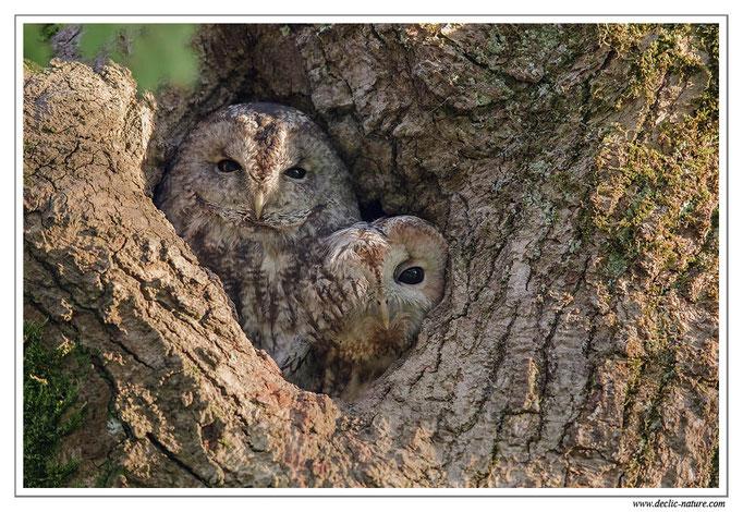 Photo 28 (Chouette hulotte - Strix aluco - Tawny Owl)