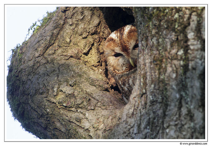 Photo 3 (Chouette hulotte - Strix aluco - Tawny Owl)