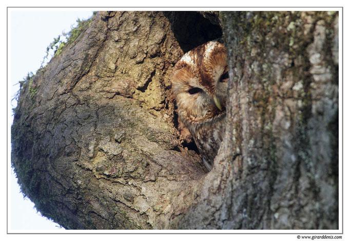 Photo 3 (Chouette hulotte - Strix aluco - Tawny Owl)