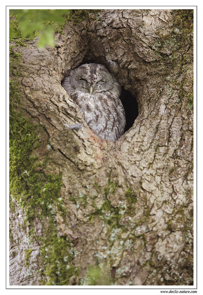 Photo 24 (Chouette hulotte - Strix aluco - Tawny Owl)