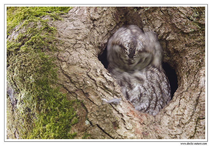 Photo 20 (Chouette hulotte - Strix aluco - Tawny Owl)