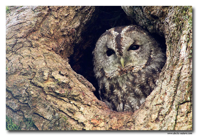 Photo 12 (Chouette hulotte - Strix aluco - Tawny Owl)