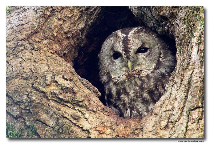Photo 12 (Chouette hulotte - Strix aluco - Tawny Owl)