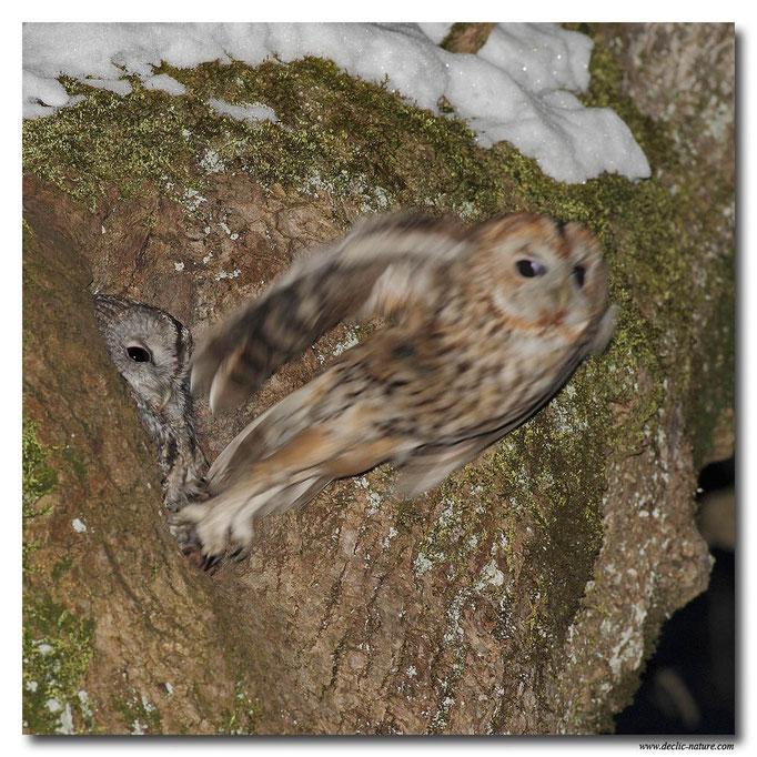 Photo 18 (Chouette hulotte - Strix aluco - Tawny Owl)