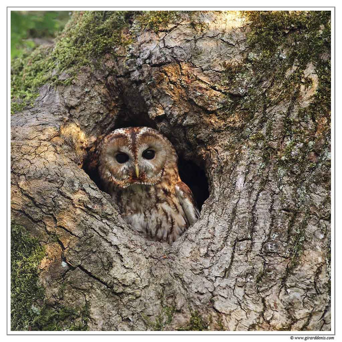 Photo 6 (Chouette hulotte - Strix aluco - Tawny Owl)