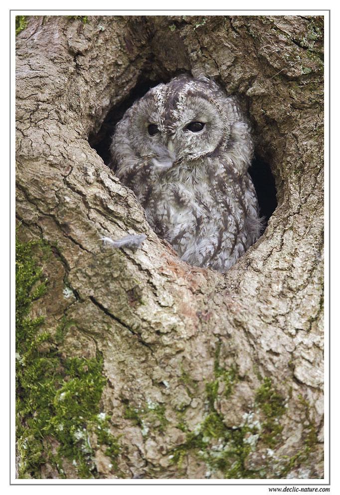 Photo 23 (Chouette hulotte - Strix aluco - Tawny Owl)