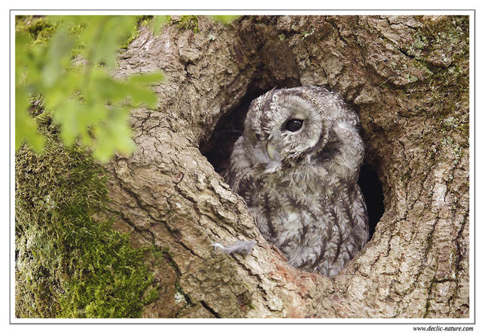 Photo 22 (Chouette hulotte - Strix aluco - Tawny Owl)