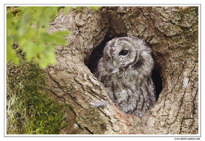 Photo 22 (Chouette hulotte - Strix aluco - Tawny Owl)