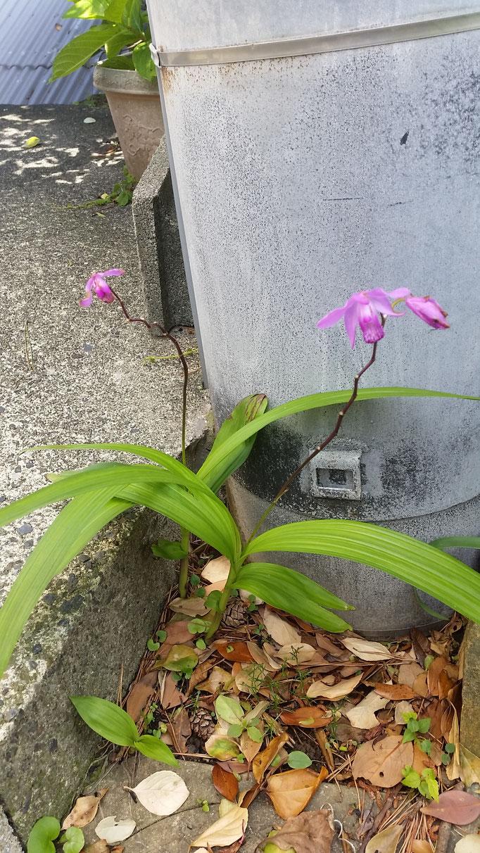 シラン(17/5/18)(里)