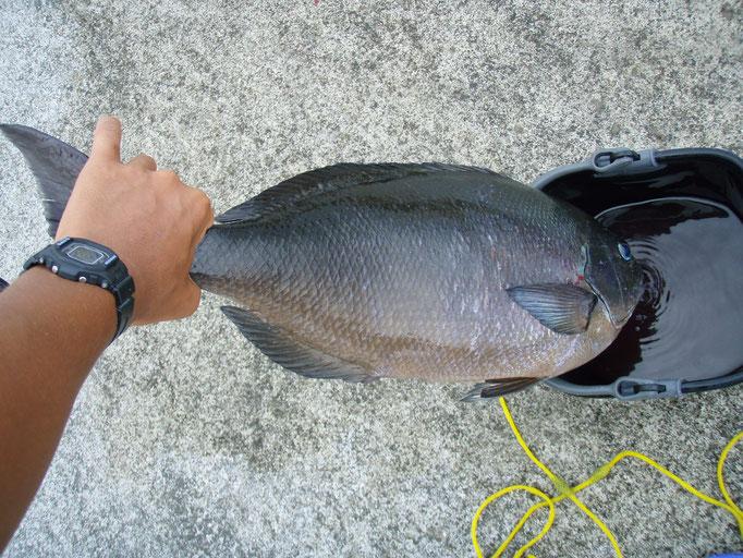 良いサイズのメジナ (餌釣り)