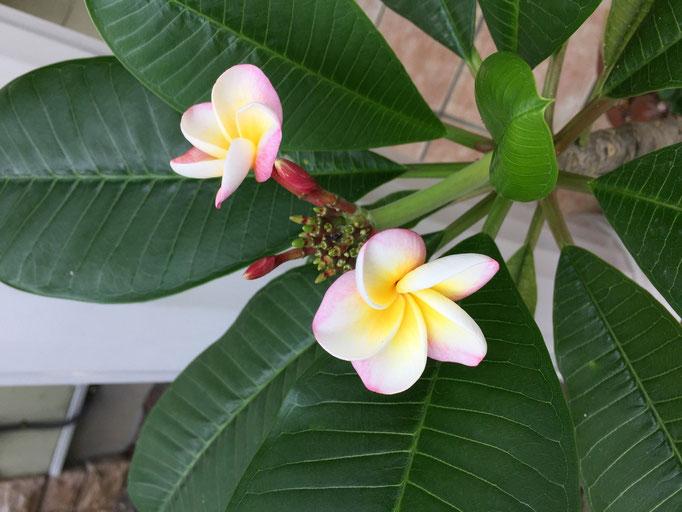 榎本さんが大事に育てています。日本でもこんなに素敵に咲くのですね.