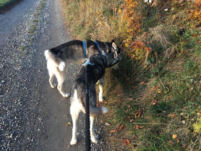 Eagle und Amarok; einer möchte so gerne laufen und darf nicht mehr, wegen seiner Arthrose; der andere könnte so gut laufen und will doch lieber nicht - nicht leicht für mein Frauchen.