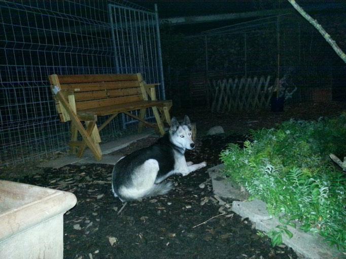 Skeena zeigt sich sehr nachtaktiv, sie übernimmt den Job der Grenzpatrouille. In regelmässigem Abstand überprüft sie den Zaun, der das ganze Gelände umgibt; keine Bewegung entgeht ihr...