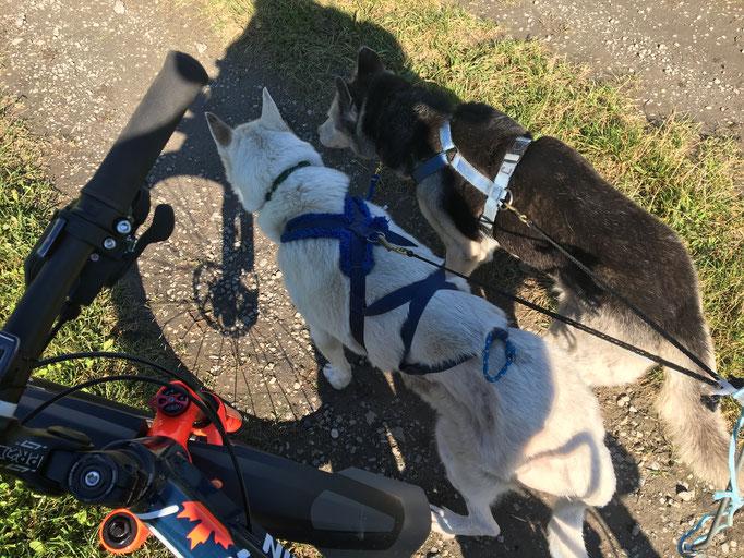 Snow ist noch dabei, ER will es so! Hier mit Skeena-Grosi, das erste Mal an einem Fahrrad laufend.
