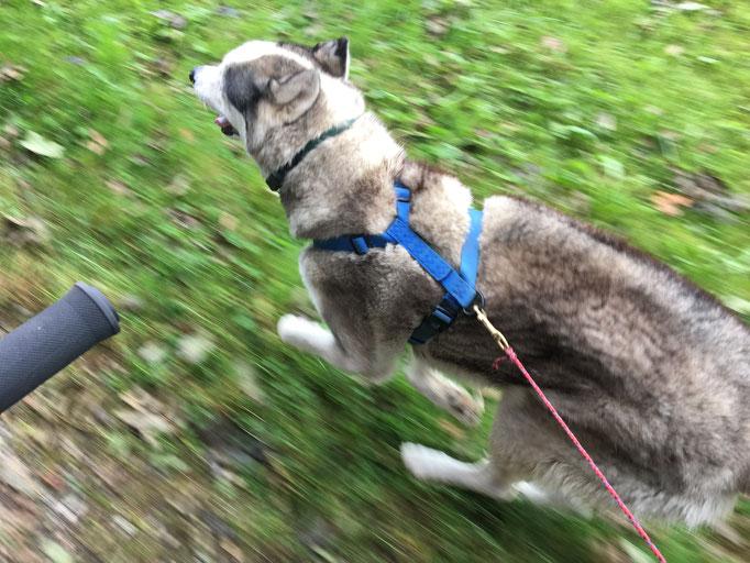Yukon, problemlos voller Freude und Elan mit 20 stdkm durch Feld und Wald...