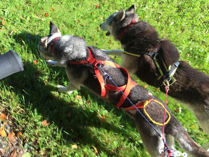 Rainey und Borea; ich seh`s nun endlich bestätigt, dass Rainey-Maus schon ziehen kann, und wie, aber sie tut es konsequent nur am Fahrrad und nicht vor Wagen oder Schlitten.