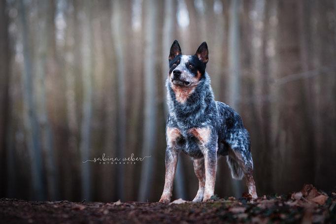 Tierfotografin Eichsfeld Australien Castle Dog