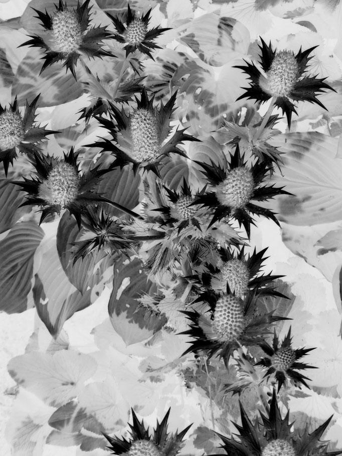 Rose von Edinburgh, 2017. Fotoprint auf Papier 30x40cm