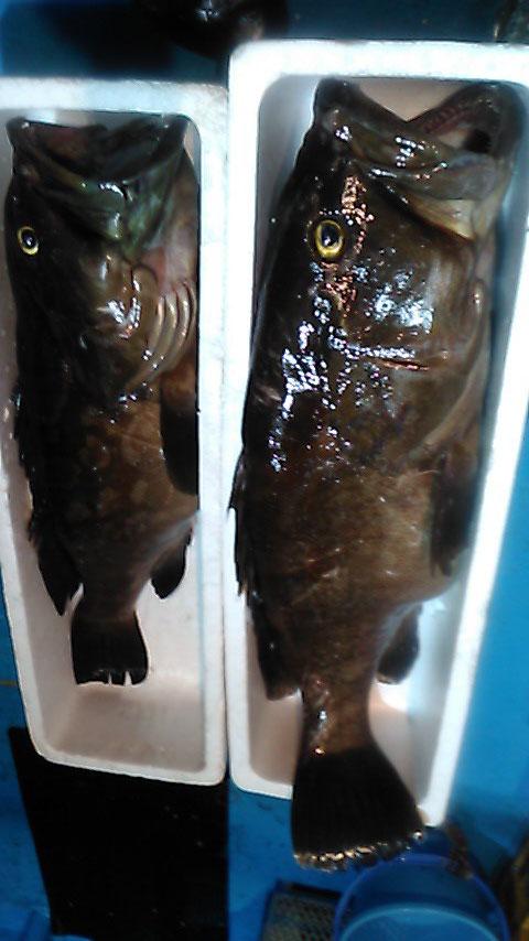 クエ。1m8cm  (15~16kg) と 80cm(10kg前後)。一晩で釣り上げました。
