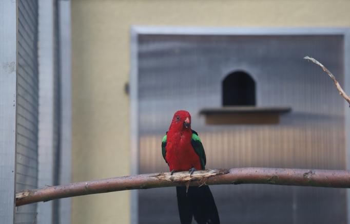 Grünflügel-Königssittich